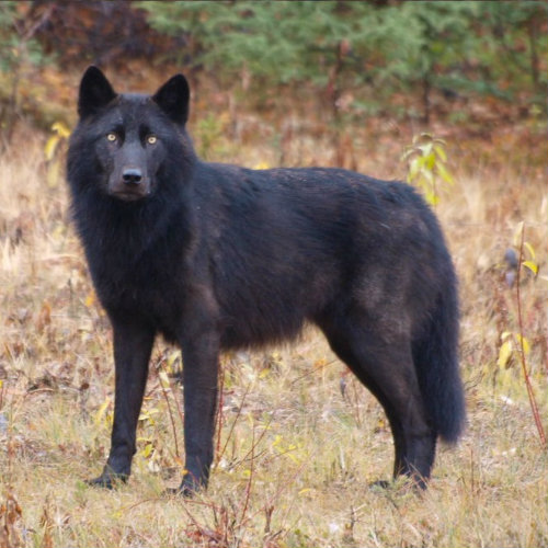 Alexander archipelafo wolf