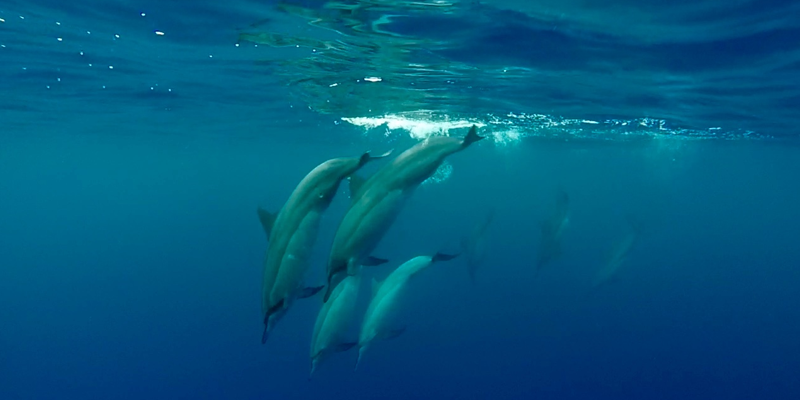 Underwater shot of a dolphin pod