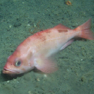 Pacific ocean perch