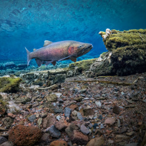 Redband rainbow trout
