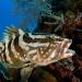 Grouper on reef in Cayman Islands